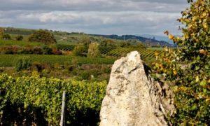 Blick über die Guntersblumer Weinlagen nach Oppenheim mit Burgruine Landskrone und Katharinenkirche